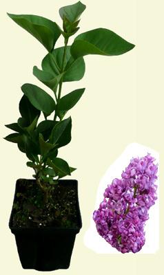 edelflieder charles joly syringa vulgaris flieder. Black Bedroom Furniture Sets. Home Design Ideas