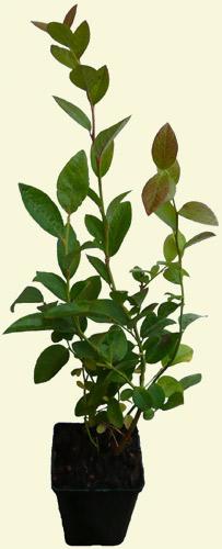 heidelbeere spartan pflanze blaubeere gro e fr chte und fr he reifezeit ebay. Black Bedroom Furniture Sets. Home Design Ideas