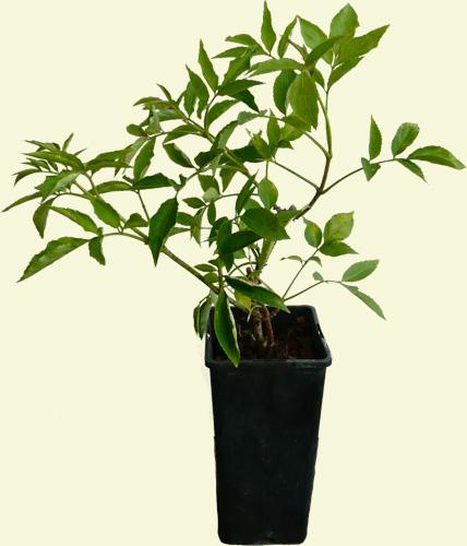 schwarzer holunder pflanzen set spitzensorten haschberg. Black Bedroom Furniture Sets. Home Design Ideas